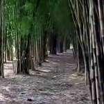 Wisata Murah Meriah Hutan Bambu Keputih Surabaya