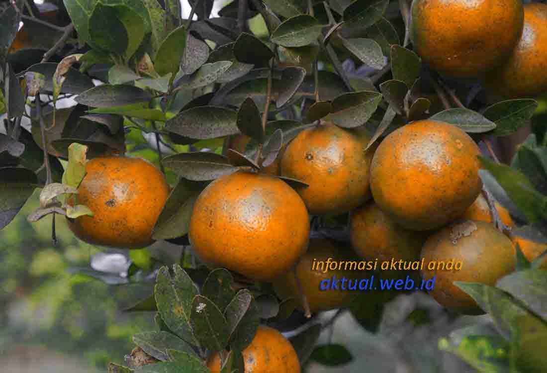 Wisata Kebun Jeruk Mojokerto