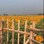 Wisata Kebun Bunga Matahari Tempuran Sooko Mojokerto